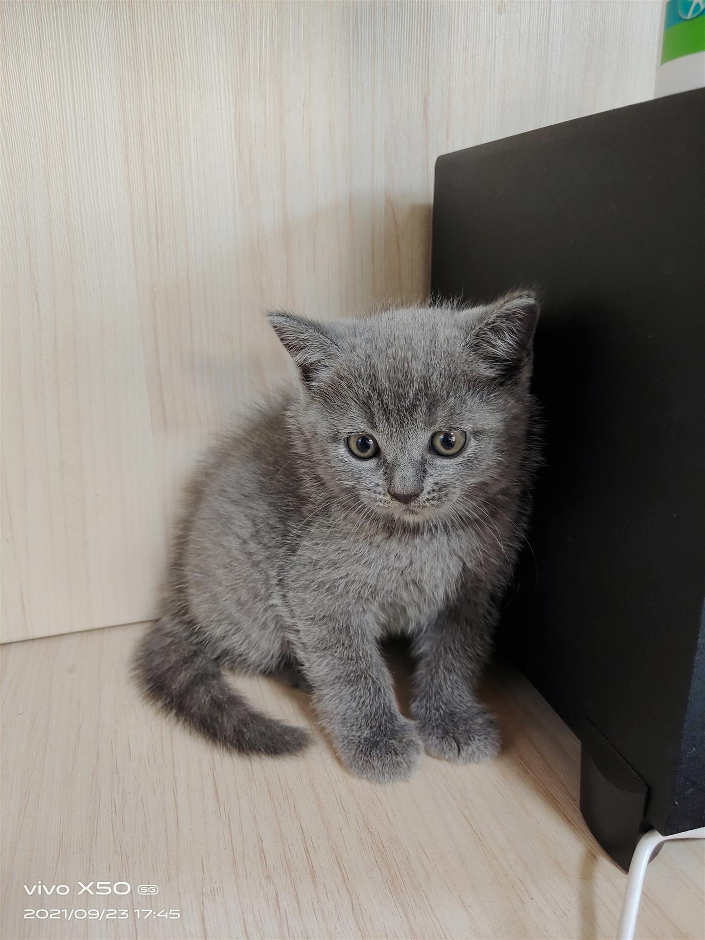蓝猫蓝白出售