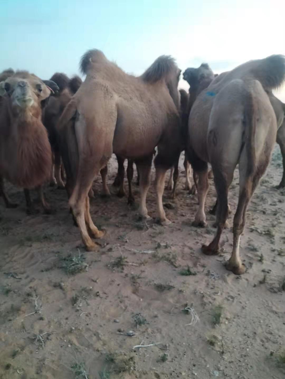便宜出售駱駝