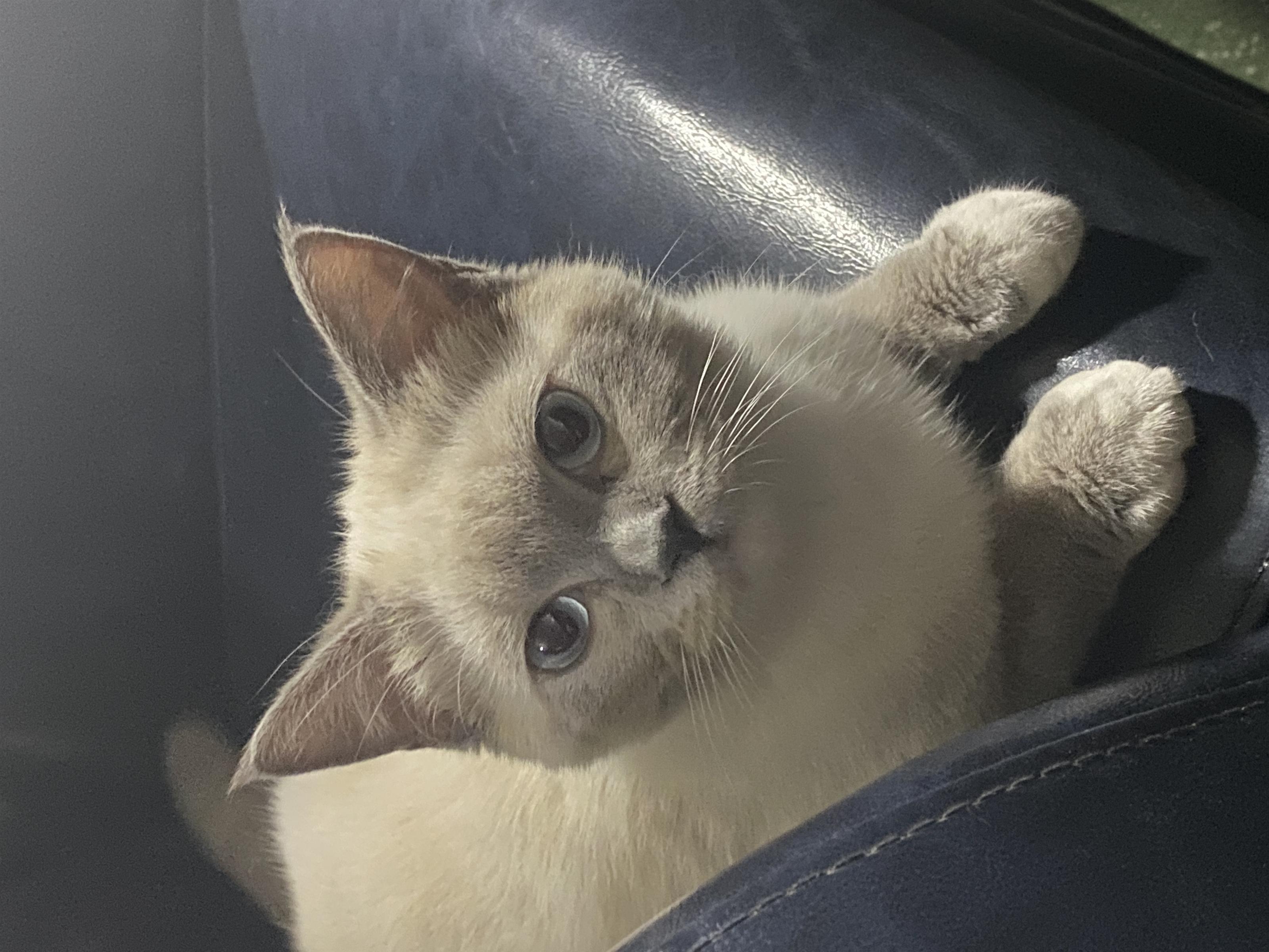 手套色布偶(母)猫疫苗全打  低价出