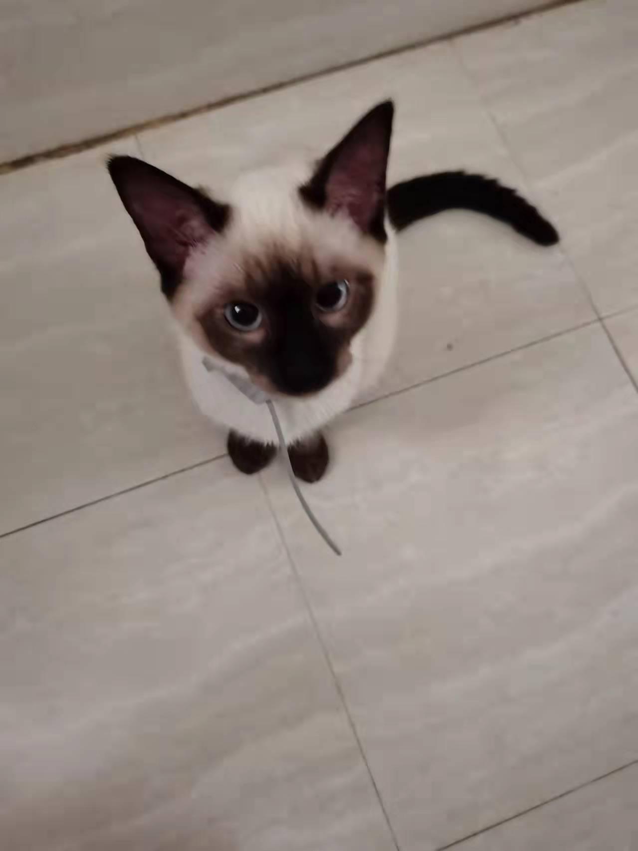 领养暹罗猫