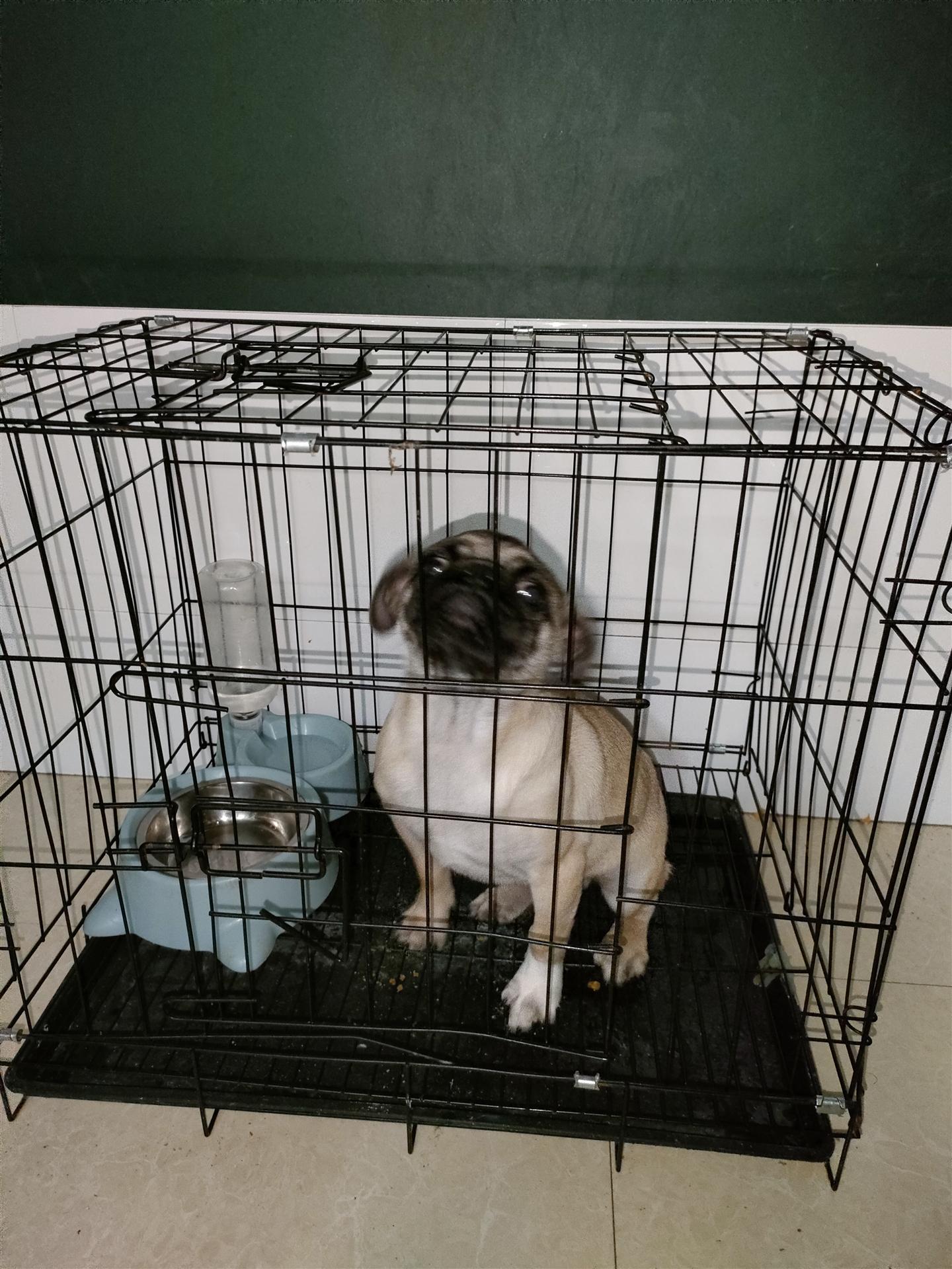 巴哥狗6个月大
