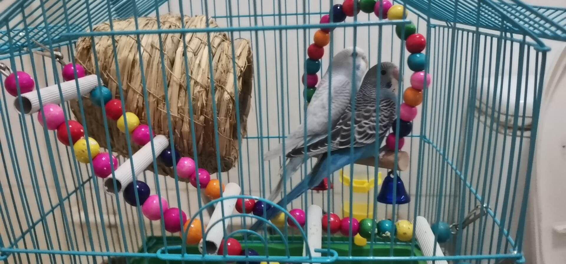 虎皮鹦鹉3个月大出售