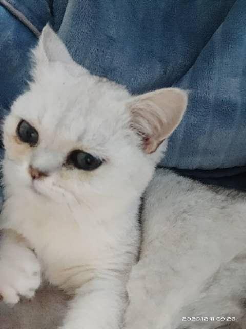 东江五号路丢失猫一只