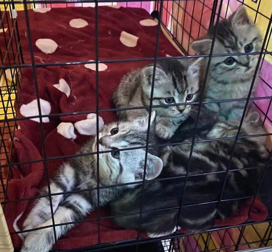 自家美短貓媽生的4只美短奶貓55天啦,毛