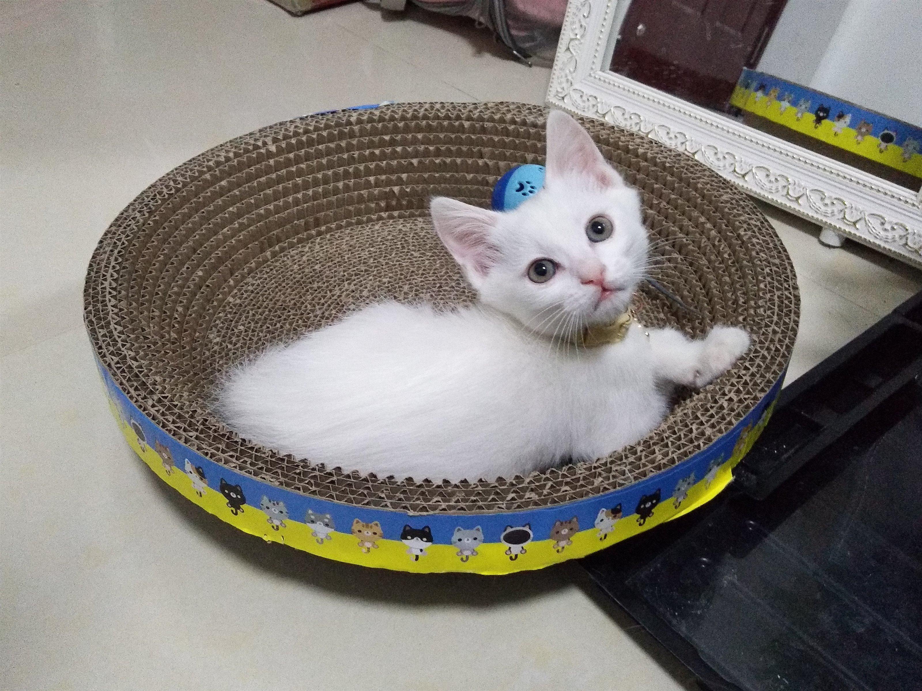 出售三个多月的小猫咪