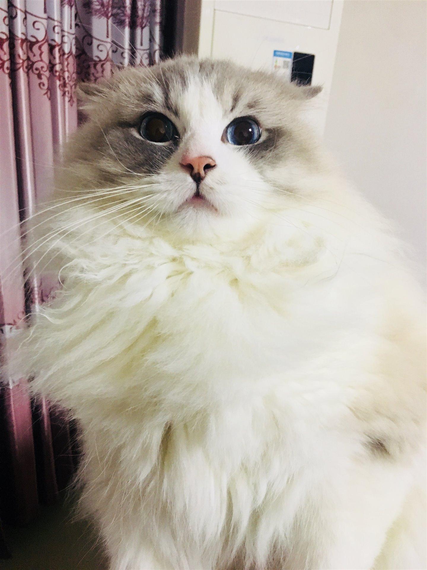 布偶猫寻新主人