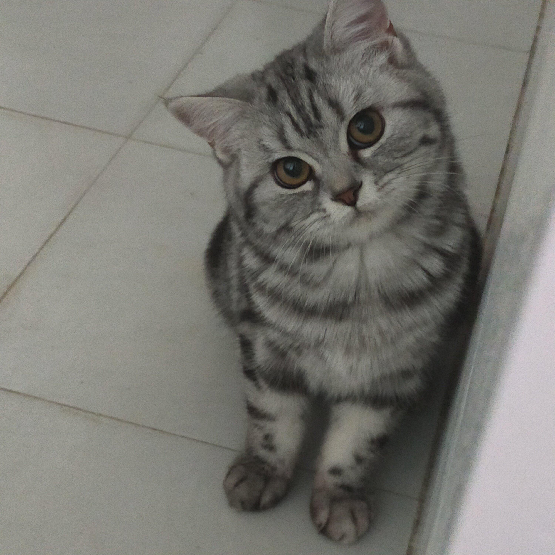 自家美短小母貓找一夜情男友