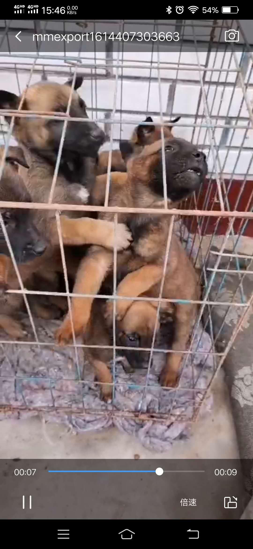 出售40天马犬幼犬