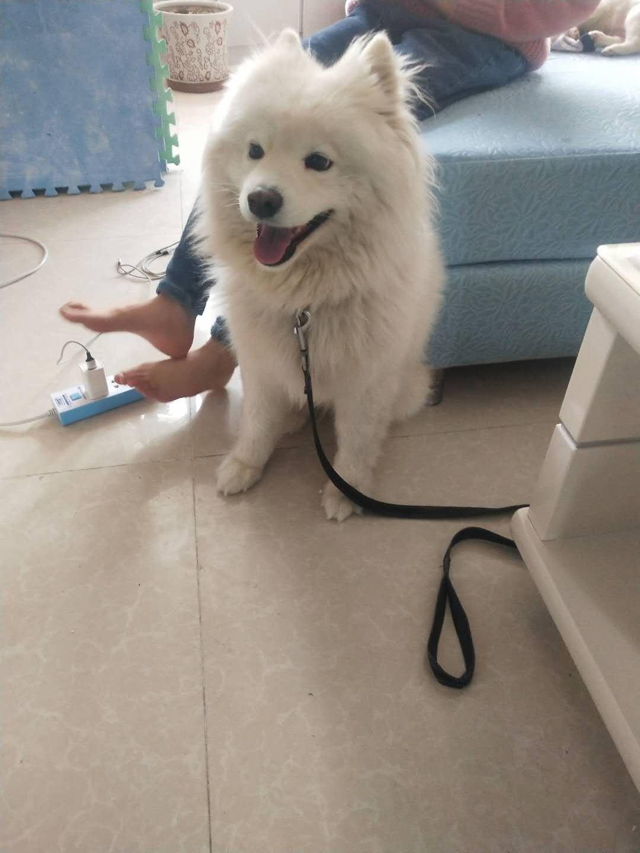 谁丢失一只萨摩耶犬