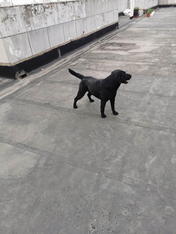 黑色拉布拉多尋找愛狗家庭
