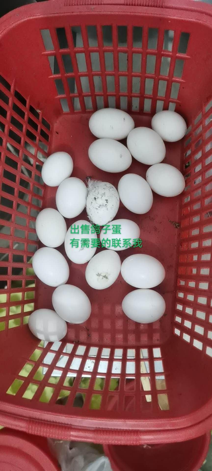 出售鸽子蛋