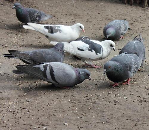 自家散养鸽子