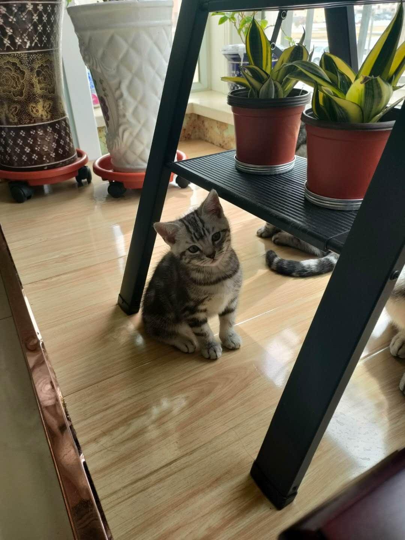 美短小母猫