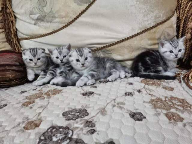 美短小猫仔