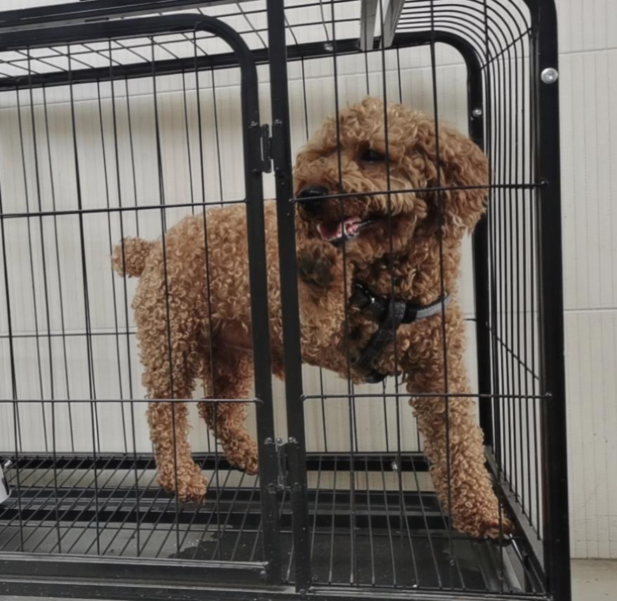 棕色泰迪犬出售