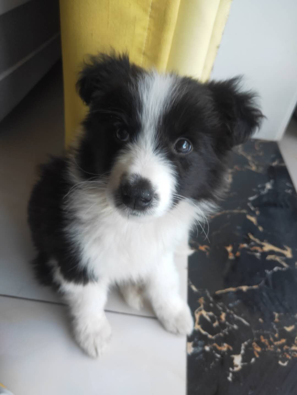 3个月边牧犬,找个本地人领养