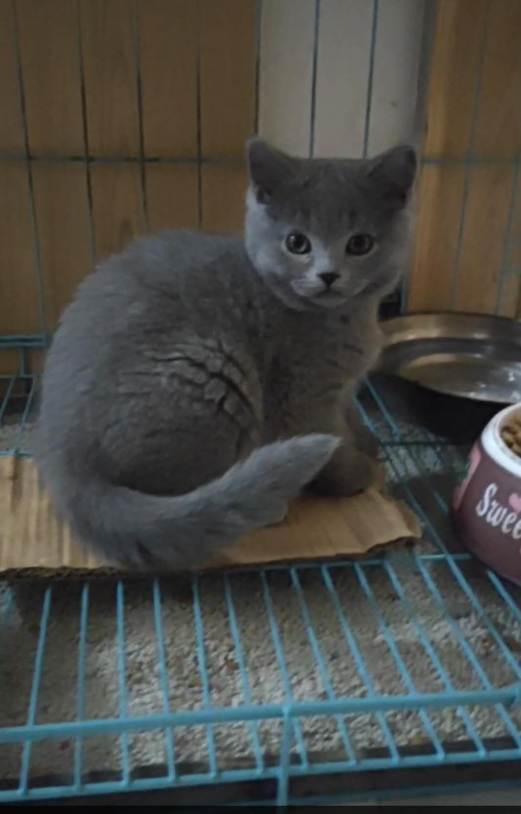 纯种英短蓝猫,底价出售