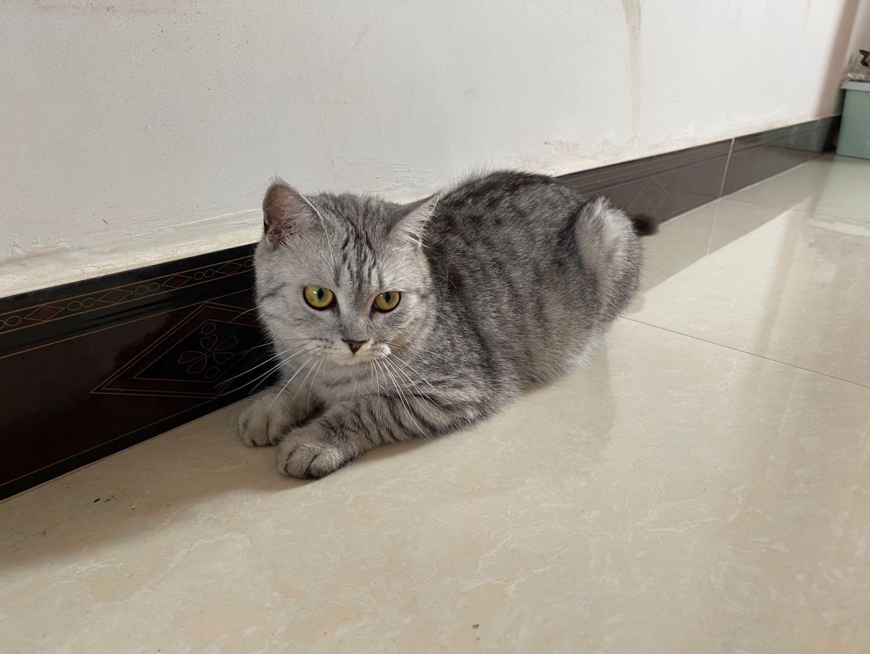 出一只美短虎斑,一岁公猫已绝育无病无癣。