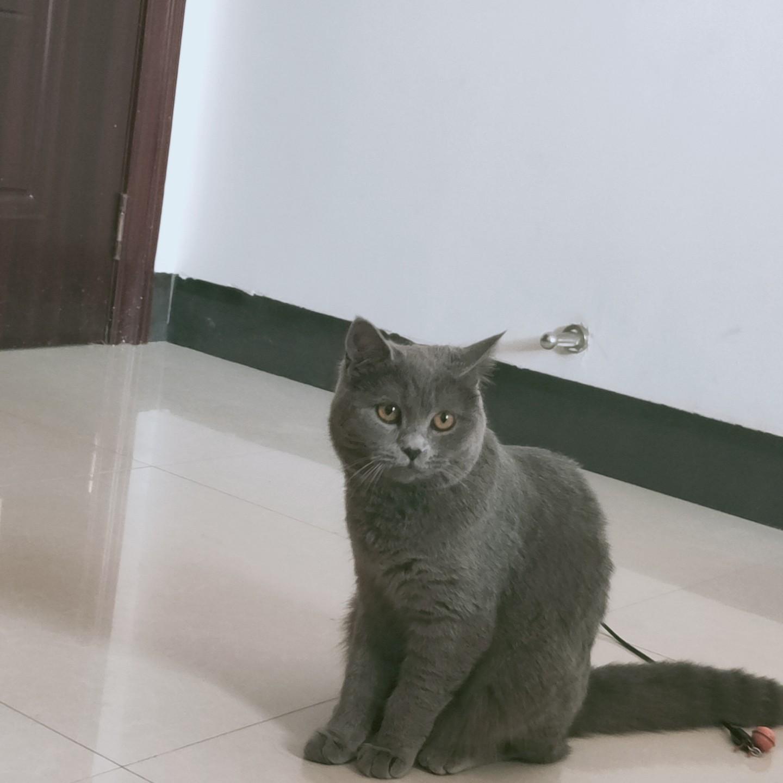 寻找一只一岁的蓝猫