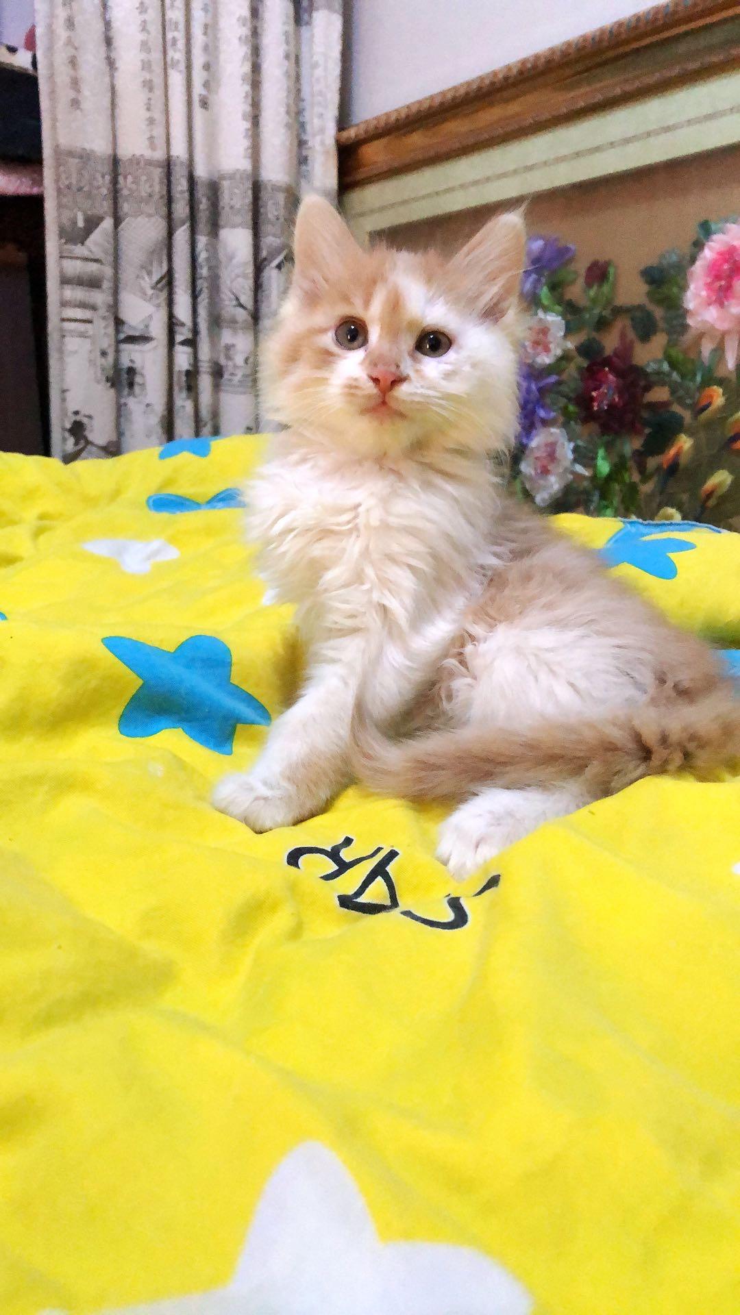 出售長白橘.白貓