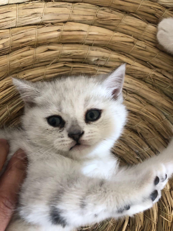 45天小猫银渐层小母猫