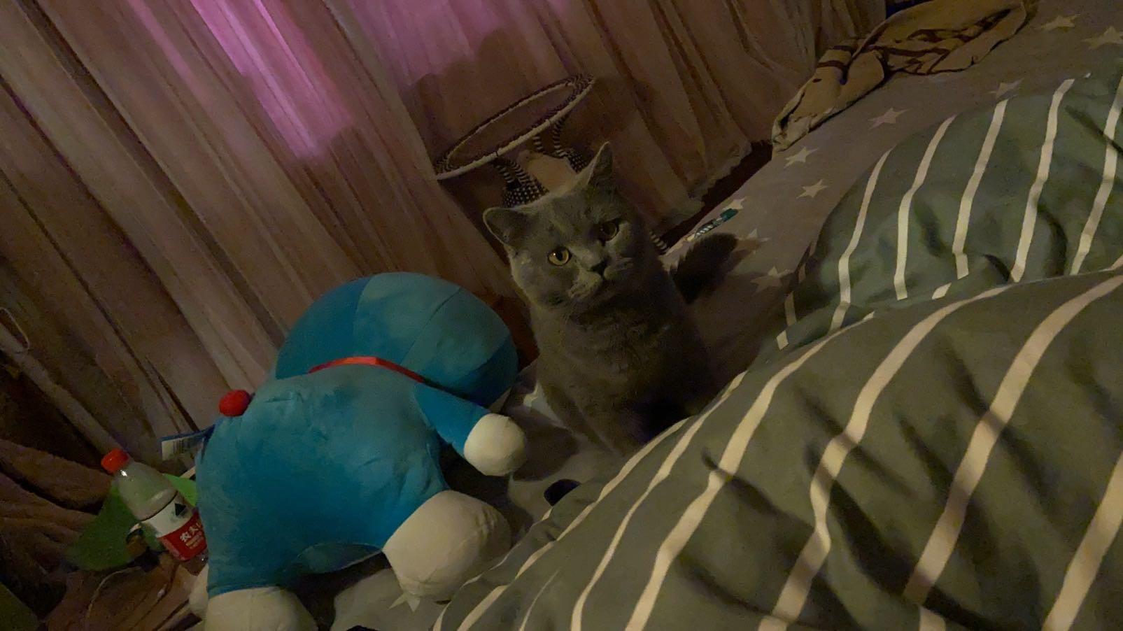 藍貓九個月