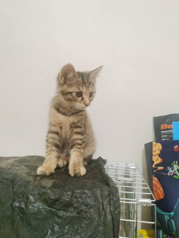 小貓找領養