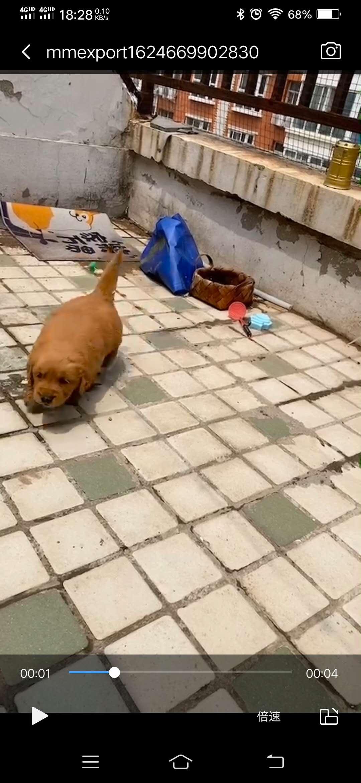 特价出售金毛幼犬