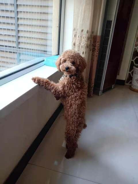 小泰迪狗出售