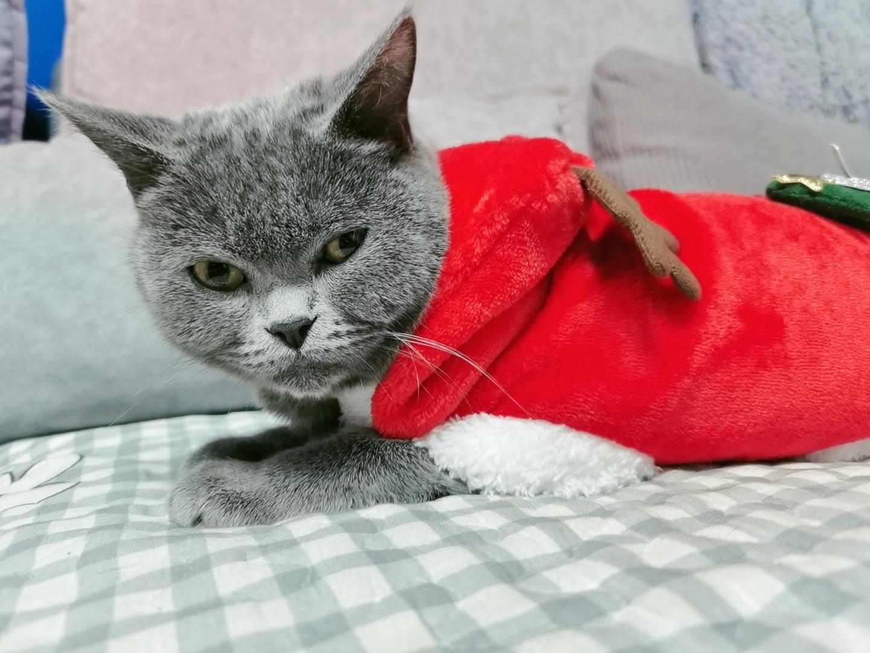 家养蓝猫 低价出售
