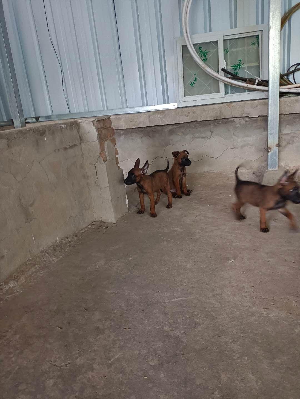 純種馬犬幼犬出售