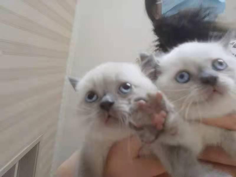 英短藍貓(重點色)