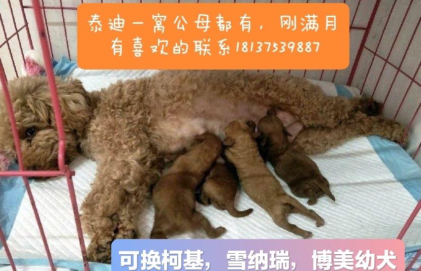 家养泰迪幼犬出售或换狗