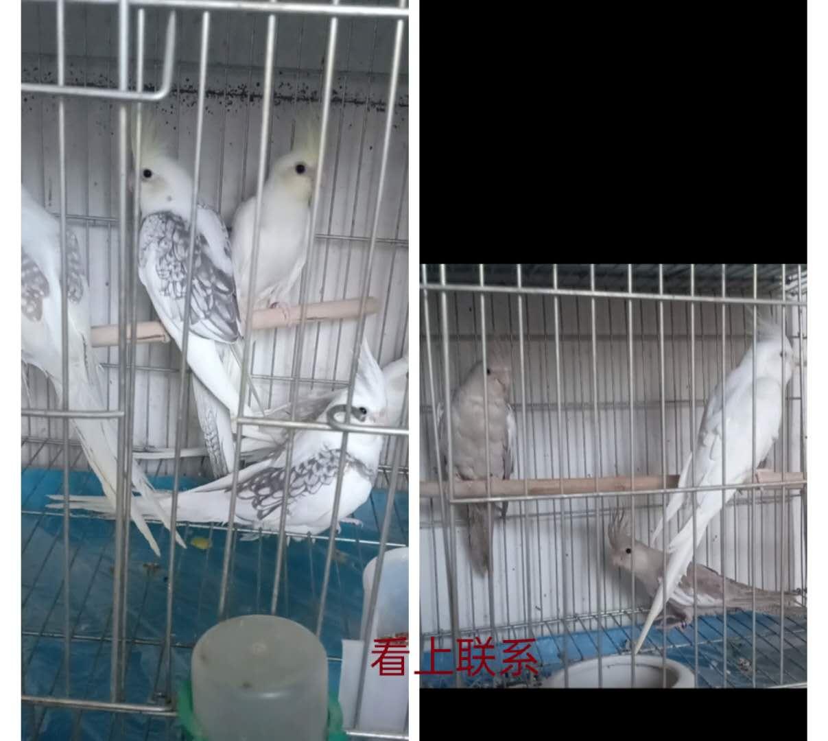 出售宠物鸟,玄凤鹦鹉,喜欢联系