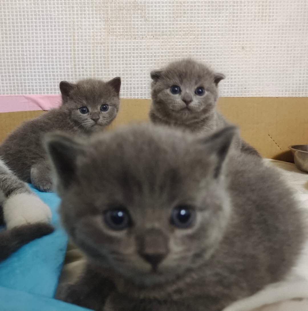 出售自己家猫咪生的宠物蓝猫崽崽
