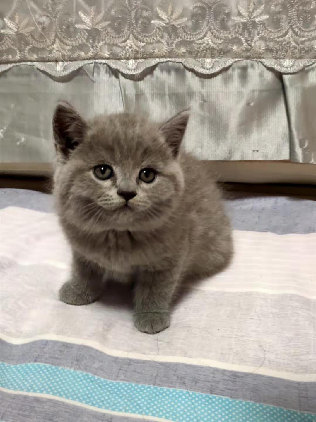 英短蓝猫宝宝,急寻铲屎官大人!